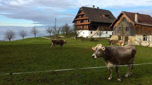 Kühe stehen auf einer Weide bei Weggis