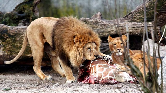 Löwe isst Giraffe.