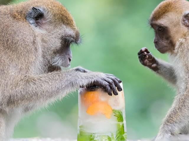 Zwei Javaneraffen mit einem Affenglacé