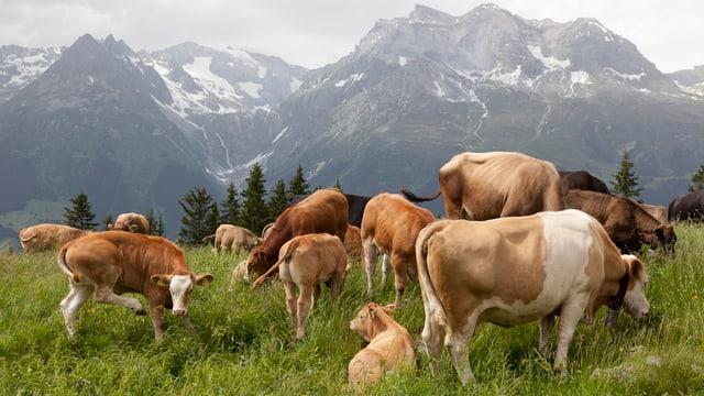 Mutter- und Jungkühe auf einer Alpwiese, im Hintergrund hohe Berge.