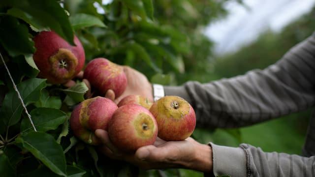 Mann hält Äpfel, zeigt sie in die Kamera