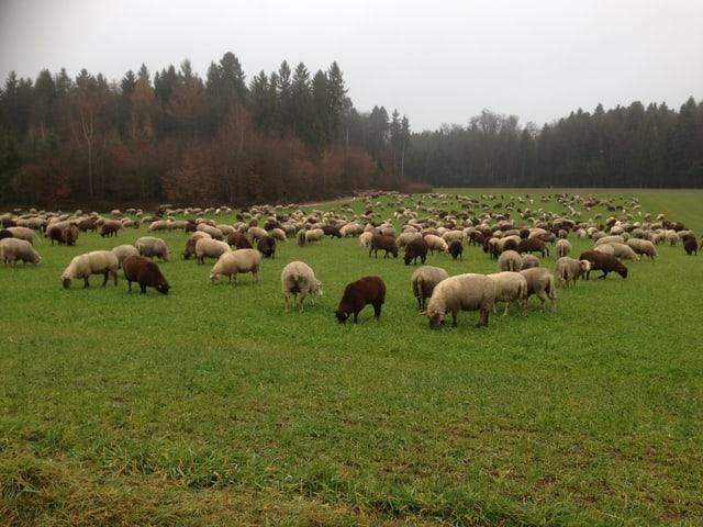 Eine Schafherde auf einer grünen Wiese im Mittelland.