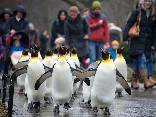 Die Pinguine laufen frei auf den Gehwegen herum. Alle beisammen als eine Gruppe.