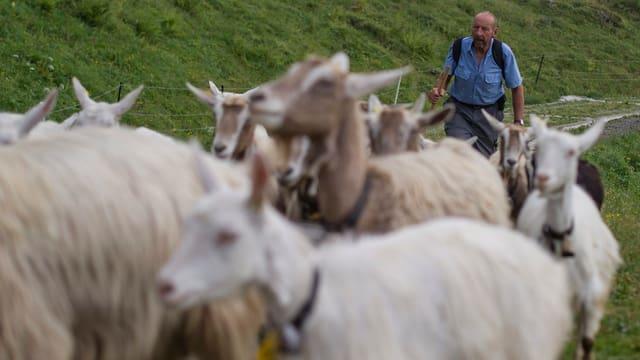 Ziegen auf einer Alp