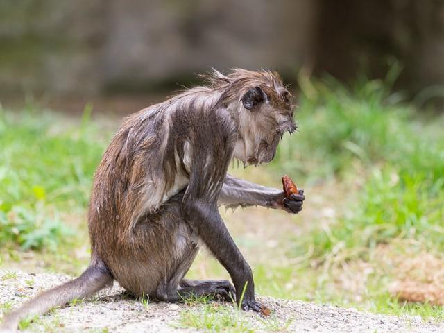 Ein nasser Affe mit einer Dattel.