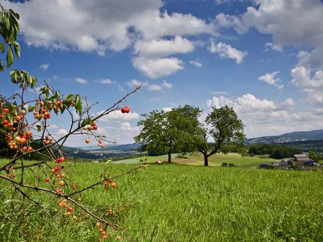 Auenstein/AG: Eine Wiese mit Kirschbaum, die Kirschen sind teils reif, das Gras steht hoch, es herrscht schönes Juniwetter.