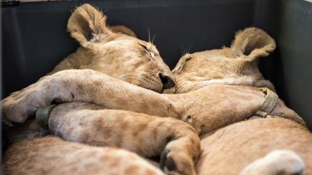 Zwei Löwen umarmen sich.