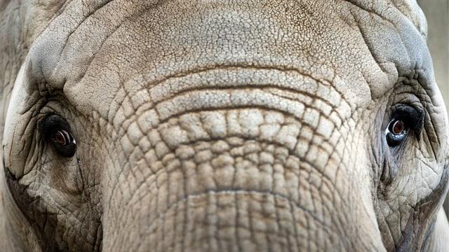Portait eines Elefanten von ganz nah.