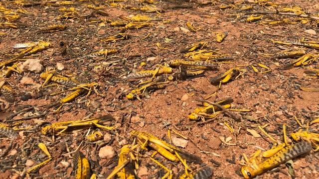 Toten Heuschrecken und Eierlöcher auf einem Feld.
