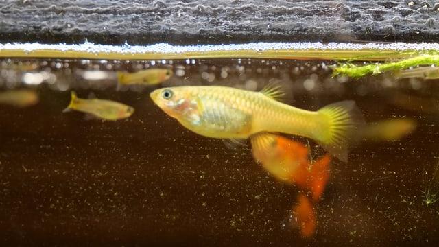 Goldfische in einem Aquarium.