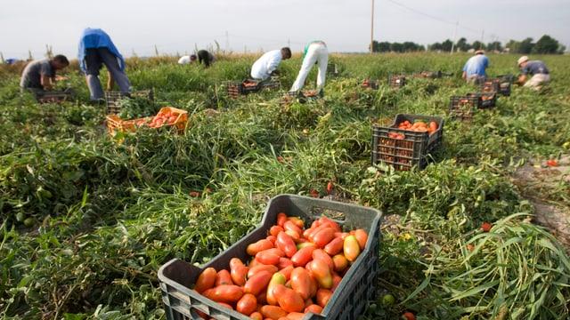 Landarbeiter ernten Tomaten auf einem Feld und legen sie in Kisten