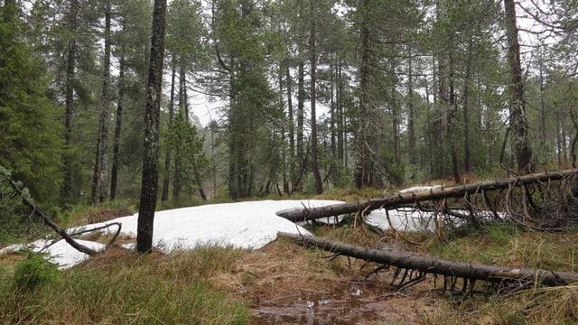 Ein Moorwald mit umgekippten Bäumen und Schnee auf dem Boden.