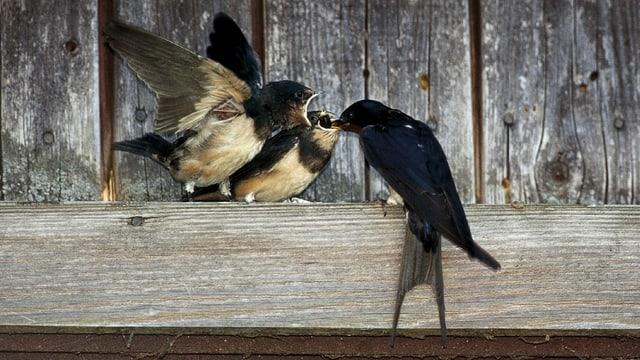 Eine Rauchschwalbe füttert ihre Jungen.
