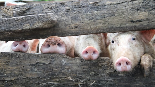 Ein Bild von ein paar Schweinchen, die durch eine Absperrung gucken.