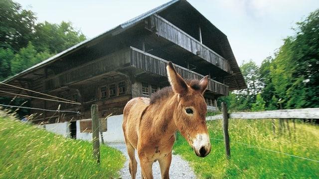 Ein Esel steht vor einem historischen Bauernhaus in Ballenberg.