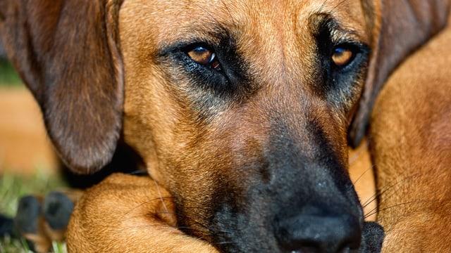 Nachaufnahme eines Hundegesichts.