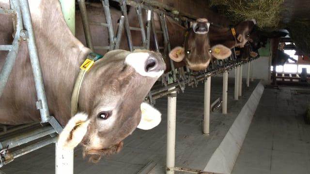 Die Kühe des landwirtschaftlichen Bildungszentrums Arenenberg sollen für 2,8 Millionen Franken einen neuen Stall erhalten.