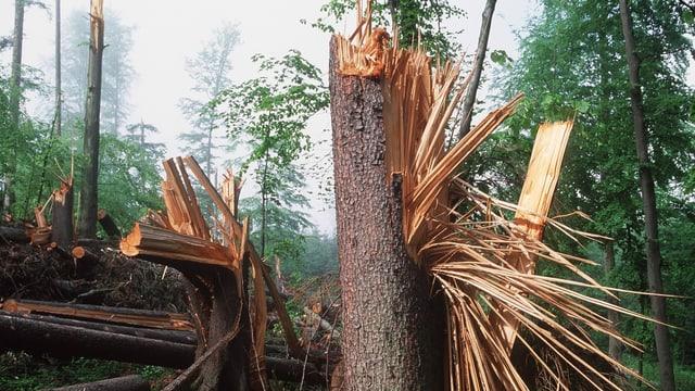 Reihenweise umgestürzte Bäume.