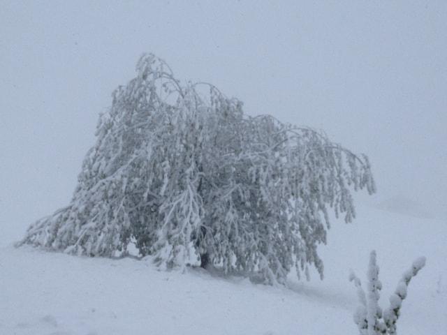 Tief verschneiter Baum.