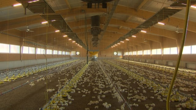 Hühnermast