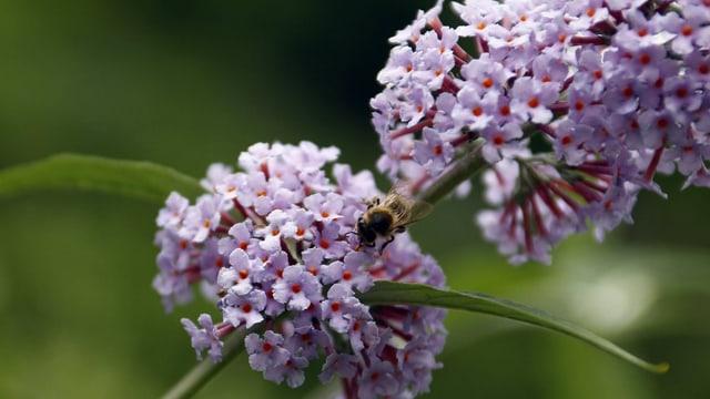 Sommerflieder blüht, eine Biene sitzt auf der Blüte.