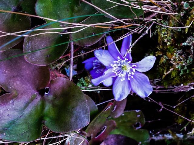 Schöne, blaue Blume in grün-roten Blättern.