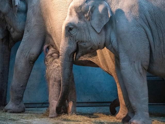Das Elefantenbaby trinkt