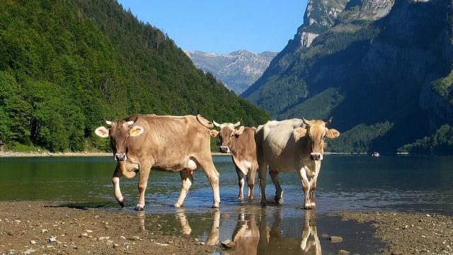 Kühe auf der Alp Vorauen im hinteren Klöntal