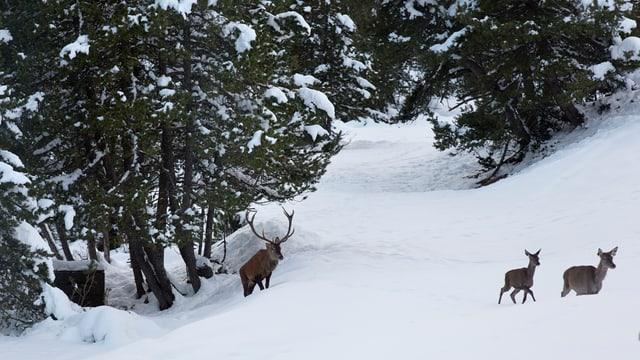 Hirsche im Schnee.