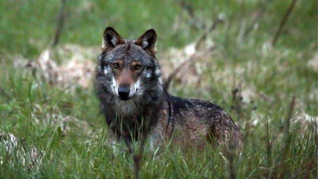 Ein Wolf in einer Wiese, er blickt in die Kamera.