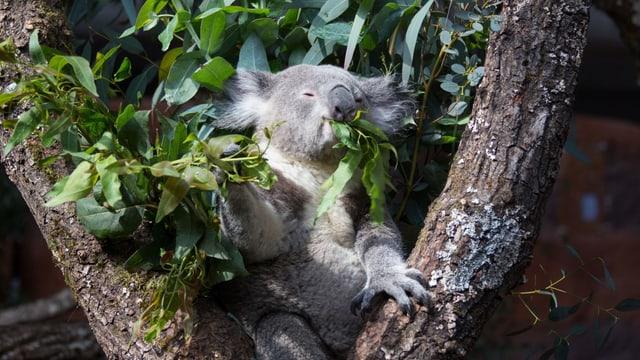 Koalabär am Fressen