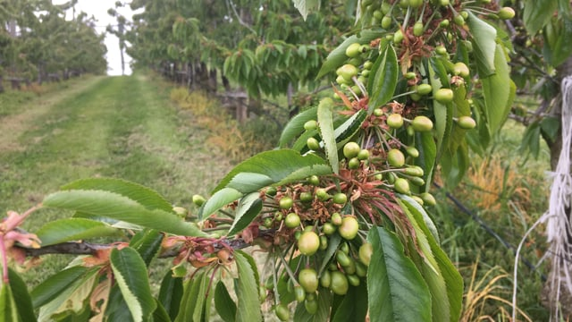 Kleine, grüne Früchte an den Kirschbäumen