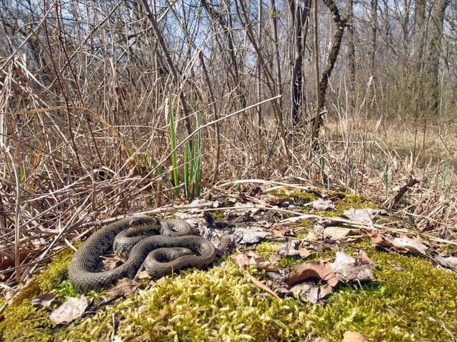 Eine Schlange auf einem Moosbeet.