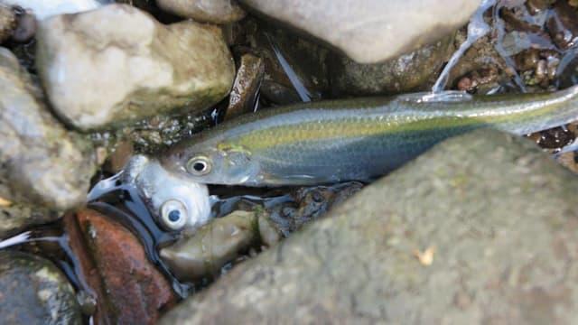 Toter Fisch zwischen Steinen im Wasser.