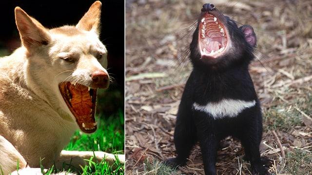 Ein Dingo und ein Tasmanischer Teufel.