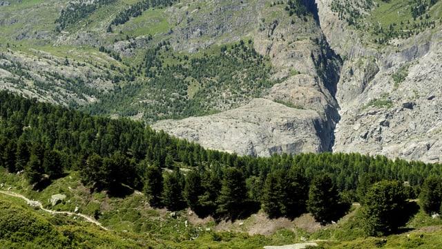 Bild des Aletschwaldes.