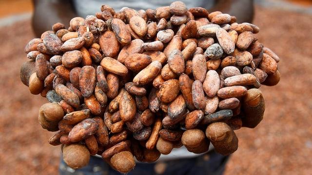 Ein Arbeiter auf einer Kakaoplantage in der Elfenbeinküste zeigte eine handvoll Kakaobohnen.