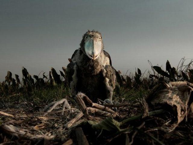 Ein Schuhschnabel-Küken in seinem Nest in der Savanne.