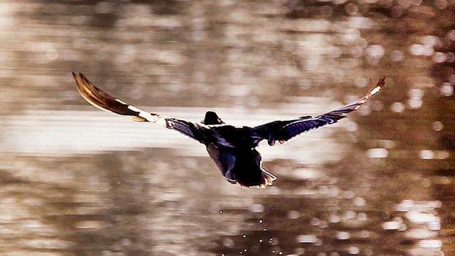 Eine Ente fliegt über dem Wasser.