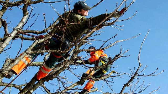 Baumpfleger hängen in den Ästen