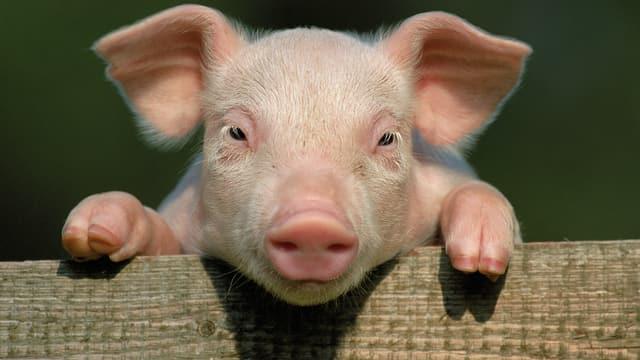 Ein Schweinchen schaut über einen Zaun
