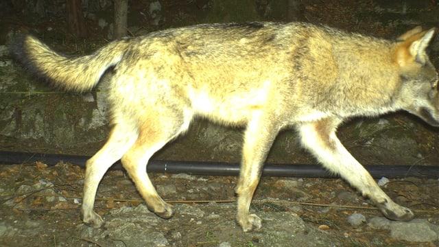 Wolf in einer Fotofalle im Kanton Uri