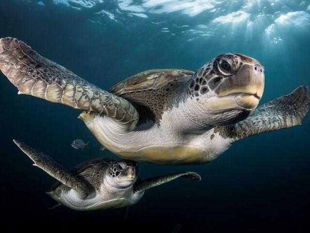Zwei Meeresschildkröten vor Teneriffa.