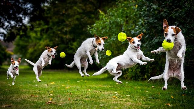 Ein Hund springt nach einem Ball. Die Etappen in Zeitlupe.