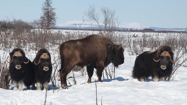 Moschusochsen und ein Wisent in einer Schneelandschaft