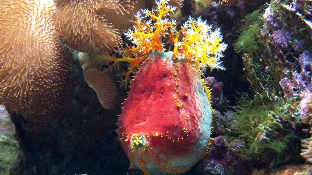 Seegurke Gurgel wie sie blühte und leuchtete - in einem Aquarium des Zoos Basel.