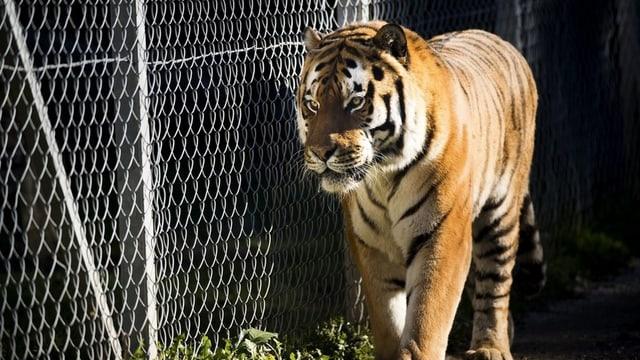 Tiger in Käfig