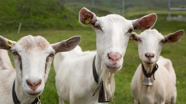 Drei Ziegen nahe des Oberalp-Passes in der Gotthardregion schauen in die Kamera des Fotografen.