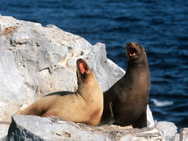 Galápagos-Seelöwen auf der Insel Champion.