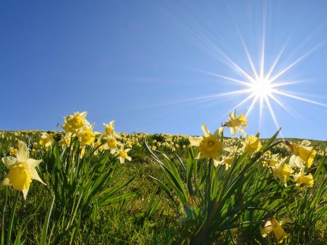 Gelbe Blumen auf Feld mit blauem Himmel und Sonne rechts
